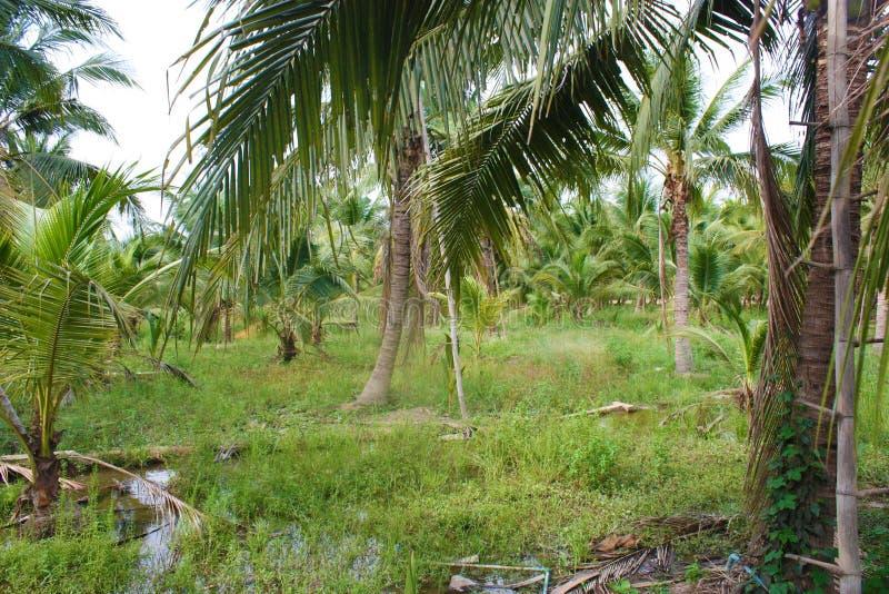 Download καραϊβικός φοίνικας της Κούβας καρύδων Στοκ Εικόνα - εικόνα από ανάπτυξη, φλώριδα: 62723939