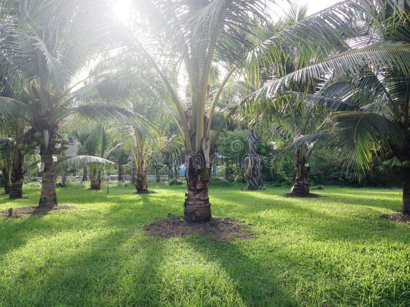 Download καραϊβικός φοίνικας της Κούβας καρύδων Στοκ Εικόνα - εικόνα από αγρόκτημα, τοπίο: 62724159