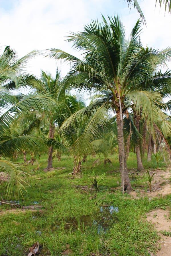 Download καραϊβικός φοίνικας της Κούβας καρύδων Στοκ Εικόνες - εικόνα από εξωτικός, καραϊβικός: 62724184
