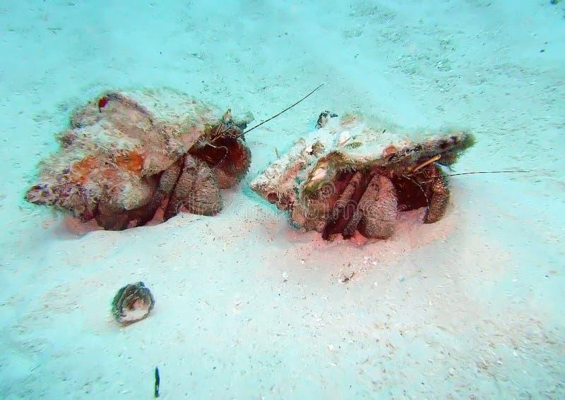 Καραϊβικό ταξίδι καβουριών ερημιτών πέρα από το ωκεανό στοκ εικόνα με δικαίωμα ελεύθερης χρήσης