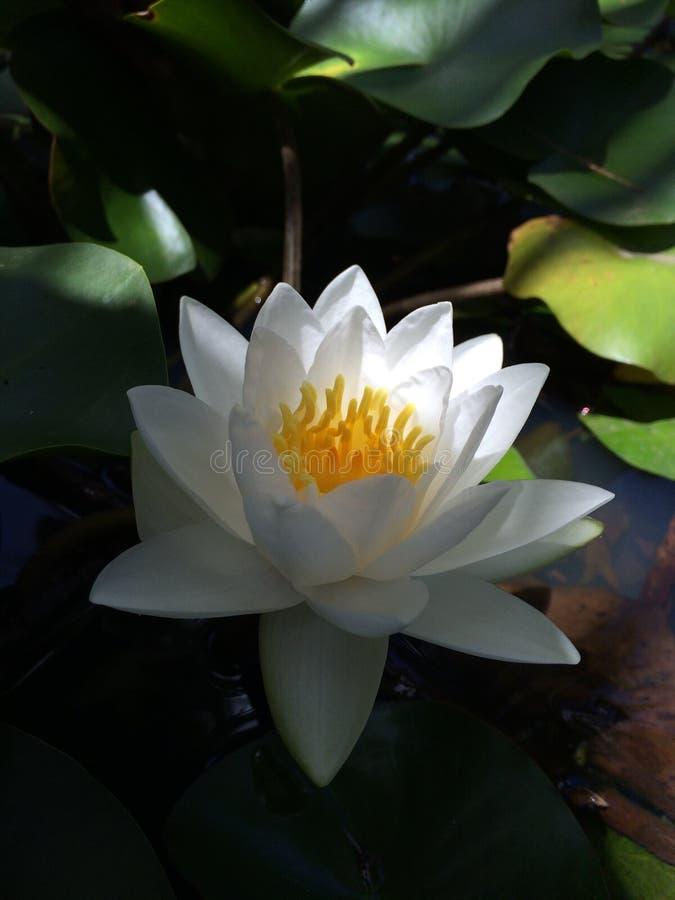 Καραϊβικό Lotus στοκ εικόνες