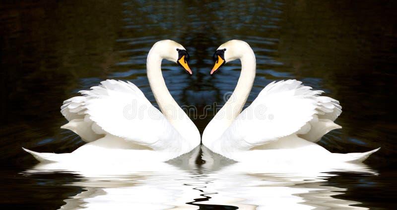 Καρδιά κύκνων στοκ εικόνες με δικαίωμα ελεύθερης χρήσης