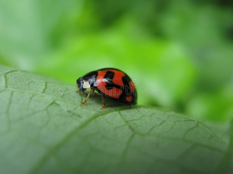 καρδιά σωμάτων ladybug λίγα στοκ εικόνα