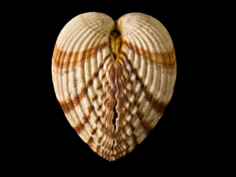 καρδιά όπως το κοχύλι στοκ φωτογραφία με δικαίωμα ελεύθερης χρήσης