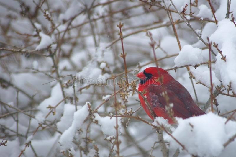 Καρδινάλιος στο χιονώδη Μπους στοκ εικόνες με δικαίωμα ελεύθερης χρήσης