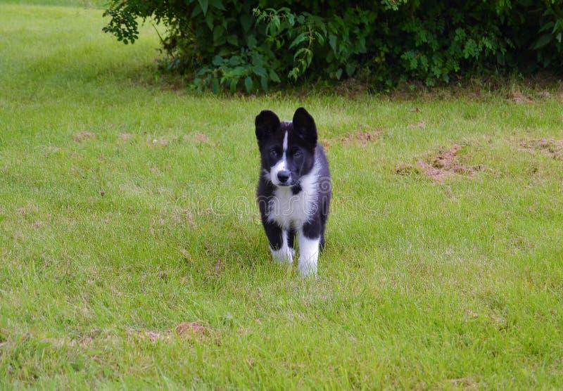 Καρελιανός αντέξτε το σκυλί στοκ φωτογραφία με δικαίωμα ελεύθερης χρήσης