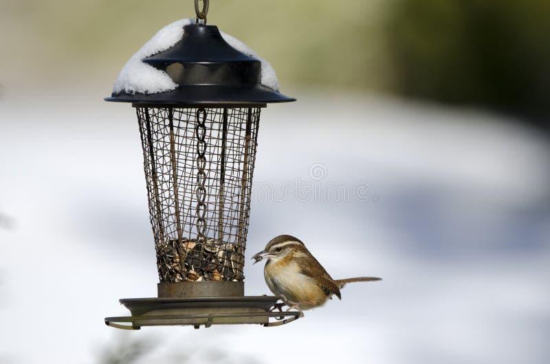 Καρολίνα Wren που τρώει το σπόρο πουλιών στον τροφοδότη κατωφλιών στο χιόνι, Αθήνα, Γεωργία, ΗΠΑ στοκ φωτογραφία με δικαίωμα ελεύθερης χρήσης