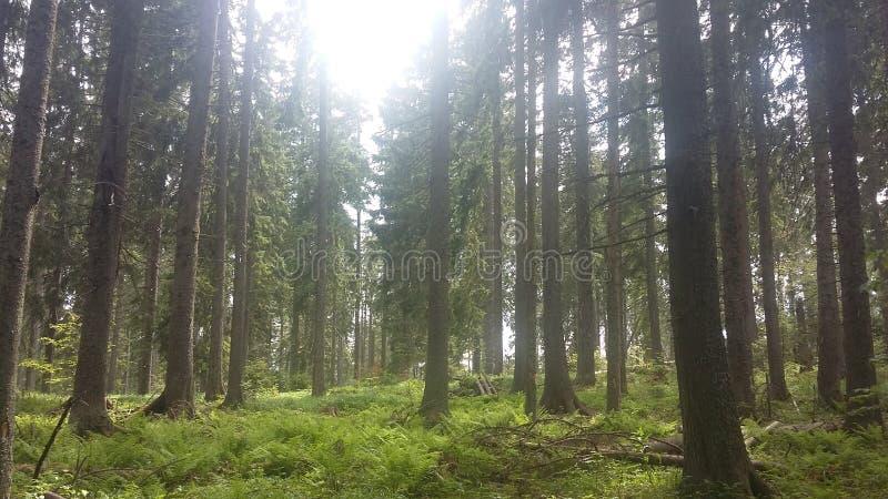 Καρπάθιο παρθένο δάσος στοκ εικόνες