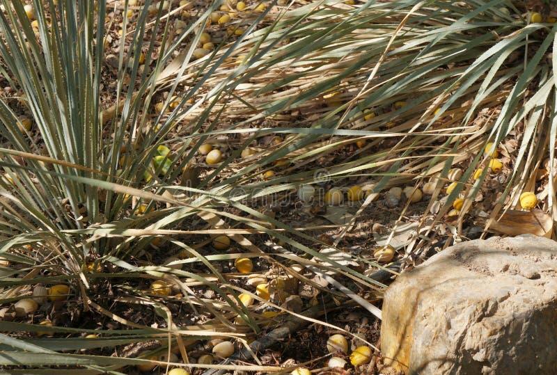 Καρποί του δέντρου Marula στοκ εικόνα με δικαίωμα ελεύθερης χρήσης