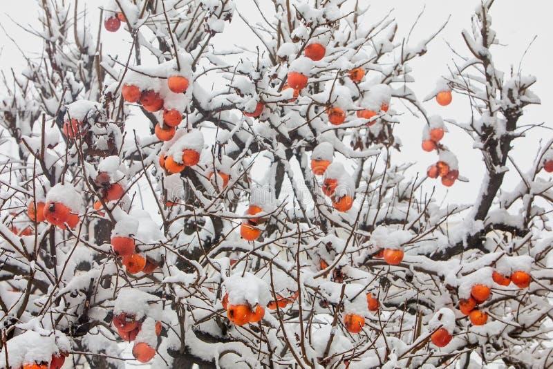 Καρποί του δέντρου δαμάσκηνων ημερομηνίας ή του λωτού Diospyros στοκ εικόνα
