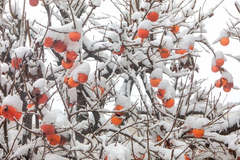 Καρποί του δέντρου δαμάσκηνων ημερομηνίας ή του λωτού Diospyros στοκ φωτογραφία με δικαίωμα ελεύθερης χρήσης