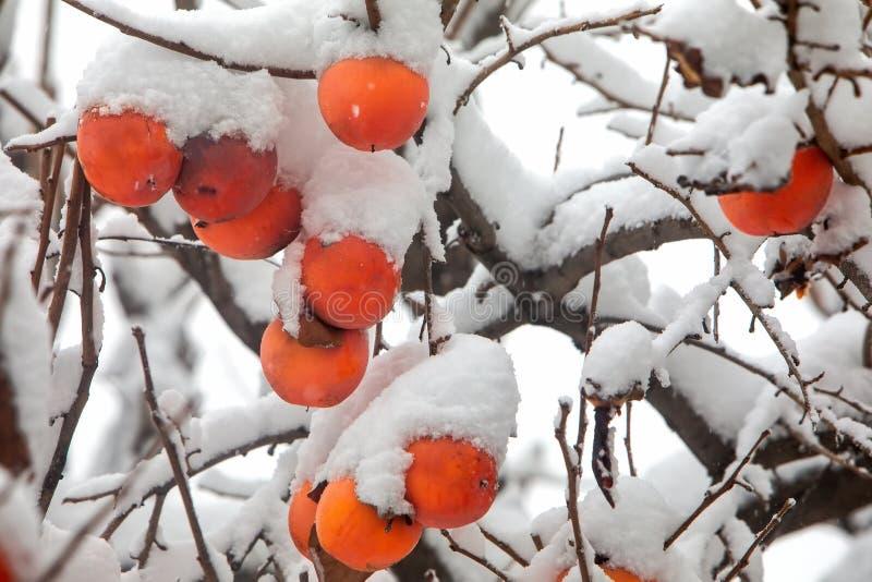 Καρποί του δέντρου δαμάσκηνων ημερομηνίας ή του λωτού Diospyros στοκ εικόνα με δικαίωμα ελεύθερης χρήσης