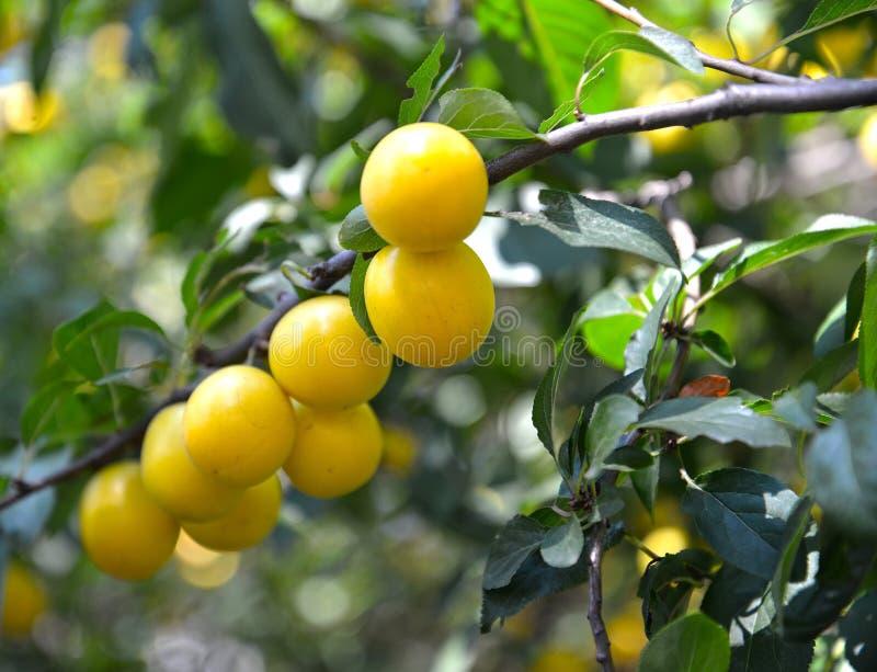 Καρποί του κίτρινου δαμάσκηνου κερασιών σε ένα cerasifera Prunus κλάδων στοκ εικόνες