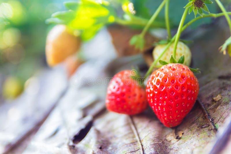 Καρποί φραουλών στον κλάδο στοκ φωτογραφίες με δικαίωμα ελεύθερης χρήσης