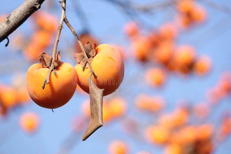 Καρποί persimmon στοκ φωτογραφία