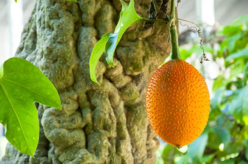 Καρπός Gac, μωρό Jackfruit στοκ εικόνα
