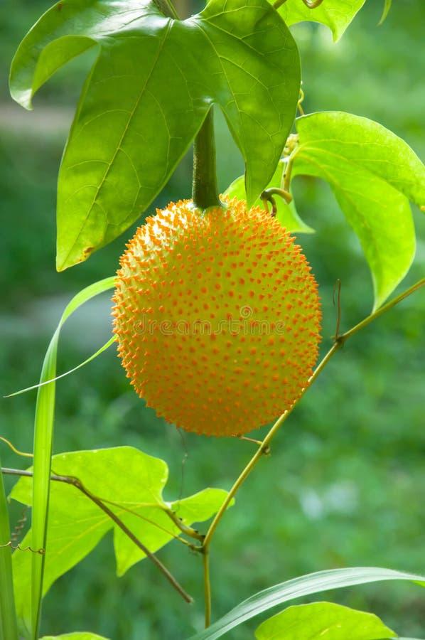 Καρπός Gac, μωρό Jackfruit στοκ φωτογραφία