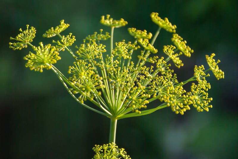 Καρυκεύματα άνηθου λουλουδιών που αυξάνονται στον κήπο στοκ εικόνες με δικαίωμα ελεύθερης χρήσης
