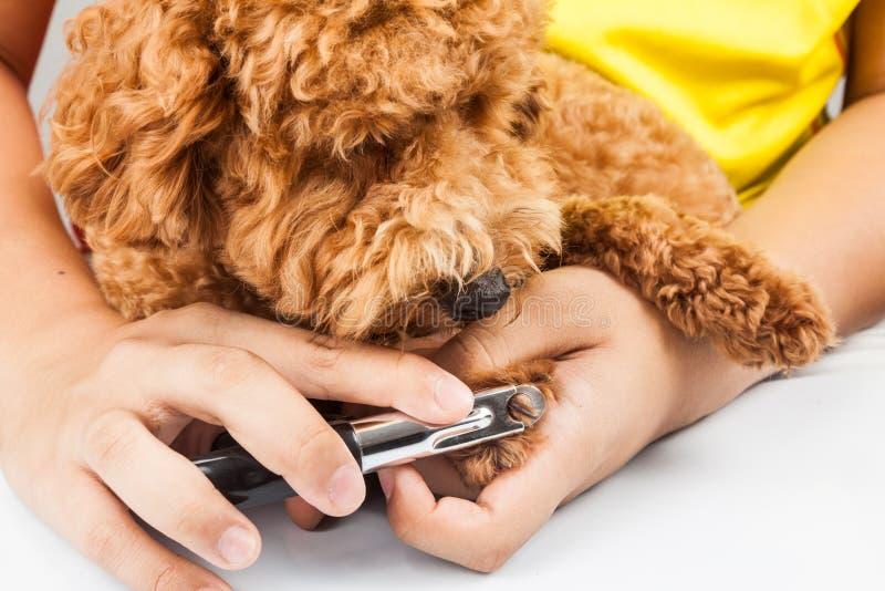 Καρφιά σκυλιών που κόβονται και που τακτοποιούνται κατά τη διάρκεια του καλλωπισμού στοκ εικόνα