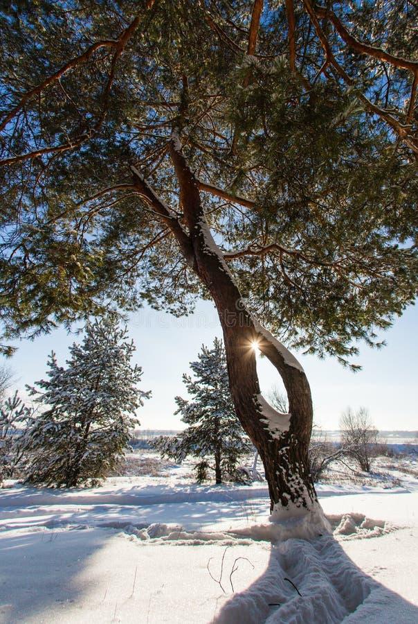 Καρφωμένο με τη διχάλα πεύκο στο υπόβαθρο ενός χειμερινού τοπίου στοκ εικόνες