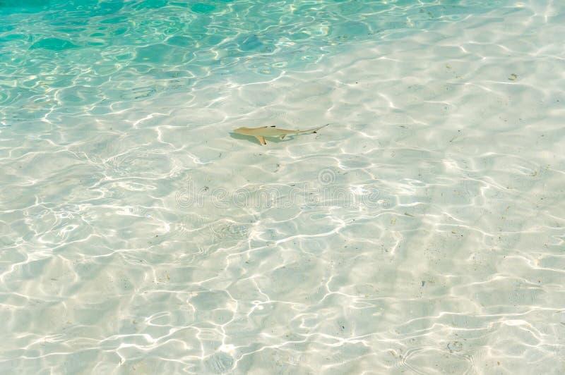 Καρχαρίας από τις Μαλδίβες στοκ φωτογραφία με δικαίωμα ελεύθερης χρήσης