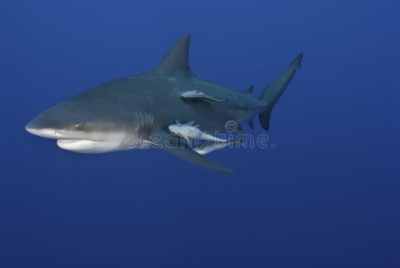 καρχαρίας γέλιου στοκ εικόνες
