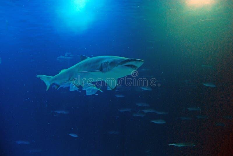 Καρχαρίας σε Oceanografic στη Βαλένθια, Ισπανία στοκ φωτογραφία με δικαίωμα ελεύθερης χρήσης