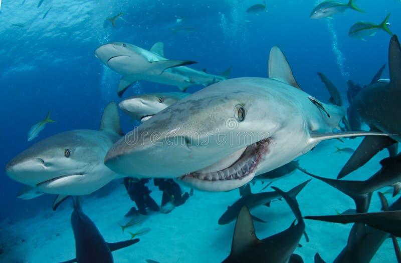 καρχαρίας σκοπέλων στοκ εικόνες με δικαίωμα ελεύθερης χρήσης