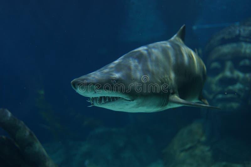 Καρχαρίας τιγρών άμμου στοκ εικόνες με δικαίωμα ελεύθερης χρήσης