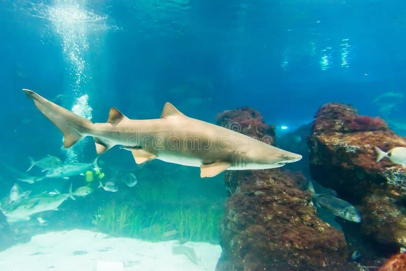 Καρχαρίας τιγρών άμμου (Carcharias taurus) στοκ εικόνα