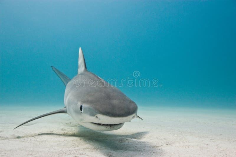 Καρχαρίας τιγρών στοκ εικόνες με δικαίωμα ελεύθερης χρήσης