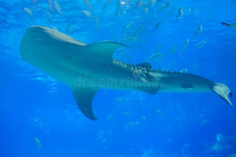 Καρχαρίας φαλαινών στο ενυδρείο στοκ φωτογραφίες με δικαίωμα ελεύθερης χρήσης