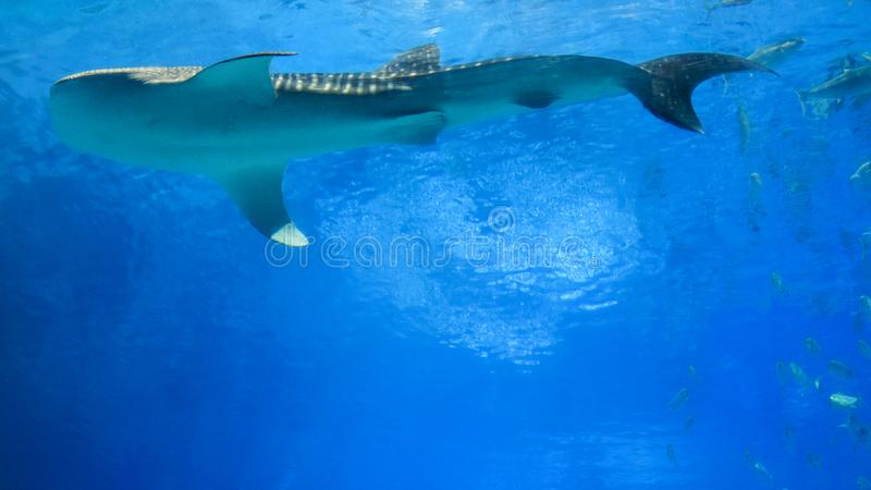Καρχαρίας φαλαινών στο ενυδρείο στοκ φωτογραφία με δικαίωμα ελεύθερης χρήσης