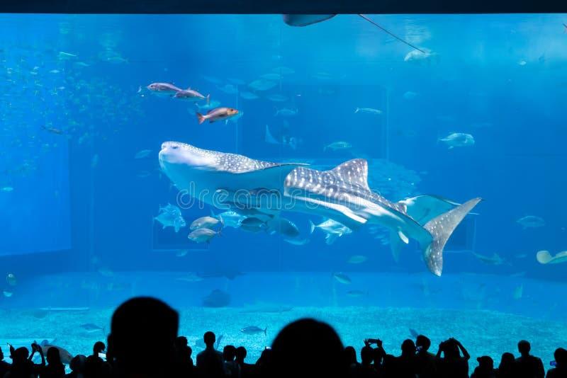 Καρχαρίας φαλαινών στο ενυδρείο Churaumi στοκ φωτογραφίες