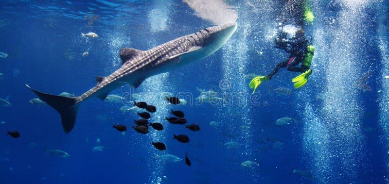Καρχαρίας φαλαινών και ο δύτης στοκ φωτογραφία