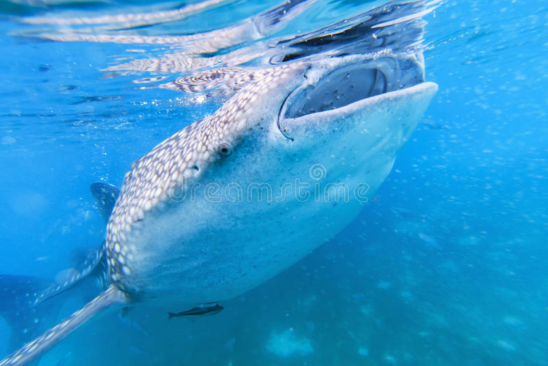 Καρχαρίας φαλαινών στις Φιλιππίνες, Oslob στοκ εικόνα με δικαίωμα ελεύθερης χρήσης