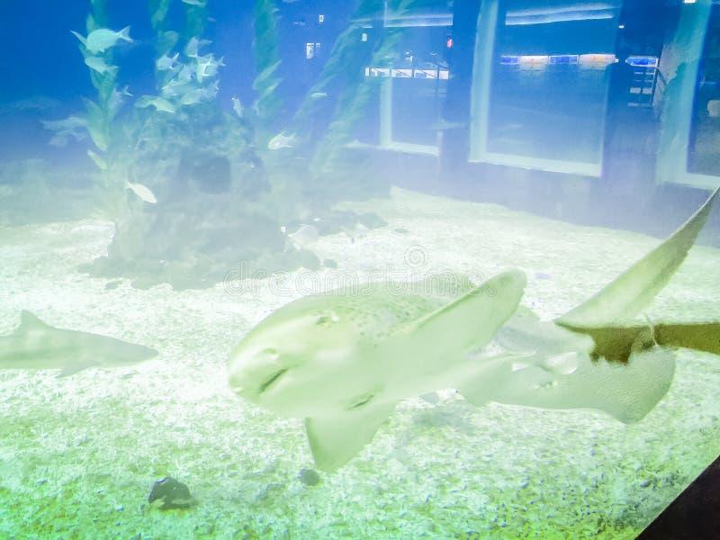 Καρχαρίας φαλαινών στον πλανήτη Jeju, τοποθετημένο κοντινό Seopjikoj Hanwah Aqua στοκ εικόνες με δικαίωμα ελεύθερης χρήσης