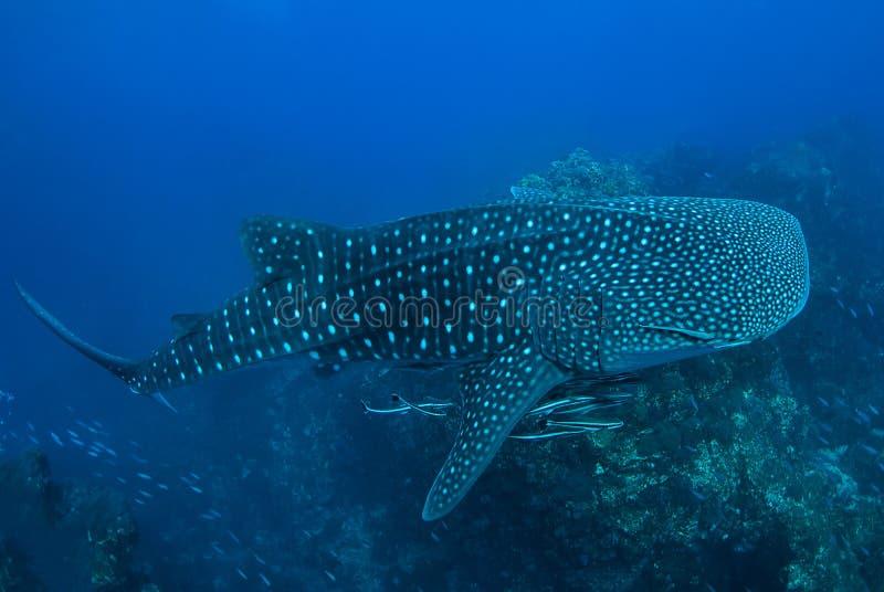 Καρχαρίας φαλαινών στο βράχο Richelieu, ο Βορράς Andaman, στοκ εικόνες με δικαίωμα ελεύθερης χρήσης
