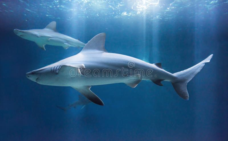 Καρχαρίας φραγμάτων άμμου σε εκβολή ποταμού στοκ εικόνες