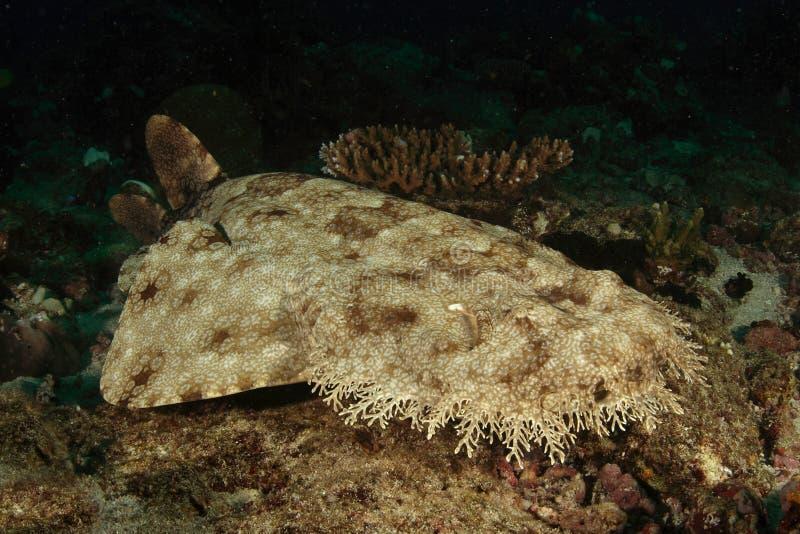 καρχαρίας wobbegong στοκ φωτογραφία με δικαίωμα ελεύθερης χρήσης