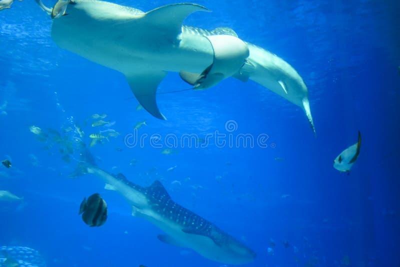 Καρχαρίες φαλαινών στο ενυδρείο στοκ εικόνα με δικαίωμα ελεύθερης χρήσης