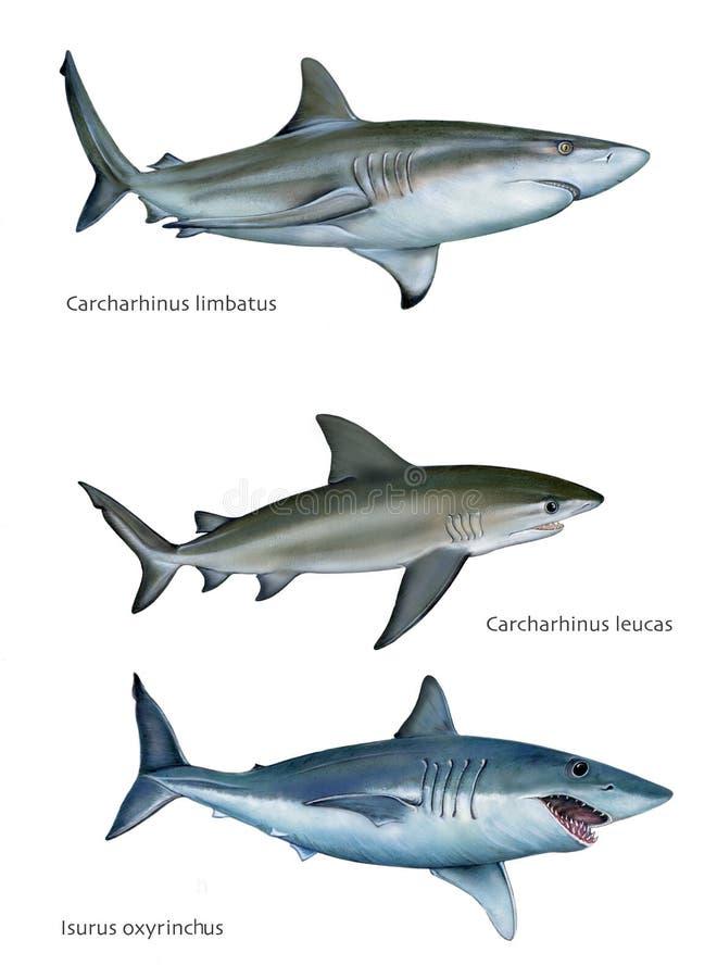 καρχαρίες ελεύθερη απεικόνιση δικαιώματος