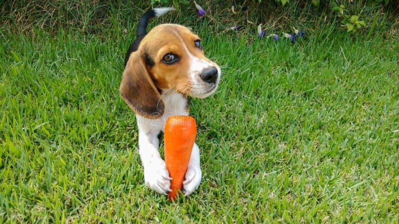 Καρότο αγάπης λαγωνικών κουταβιών στοκ φωτογραφία με δικαίωμα ελεύθερης χρήσης