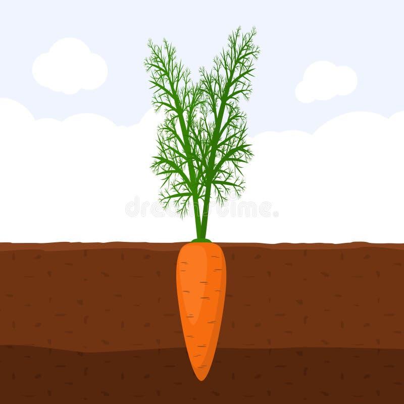 Καρότο με τον πράσινο νεαρό βλαστό στην κορυφή στο χώμα, φρέσκια οργανική ανάπτυξη εγκαταστάσεων φυτικών κήπων υπόγεια, επίπεδο δ διανυσματική απεικόνιση