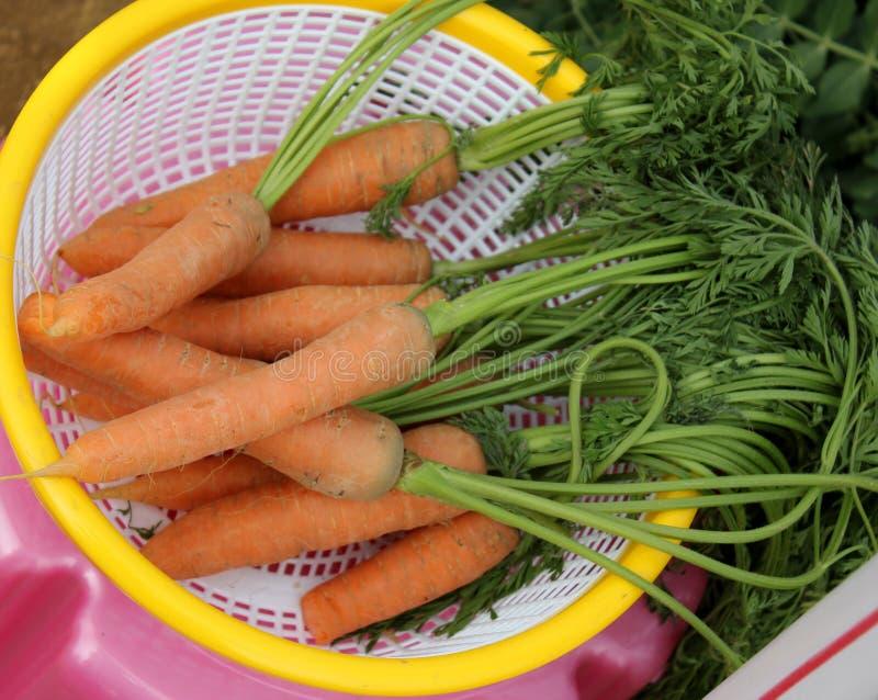 Καρότο Νάντη στοκ φωτογραφία με δικαίωμα ελεύθερης χρήσης
