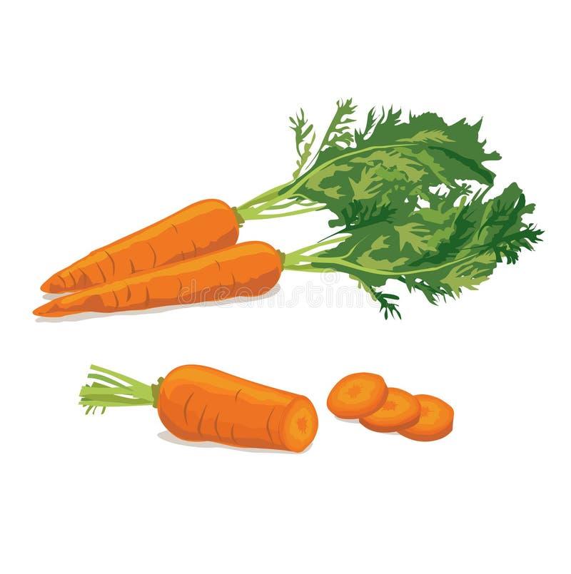 καρότο Ώριμη φυτική απεικόνιση καρότων διανυσματική απεικόνιση