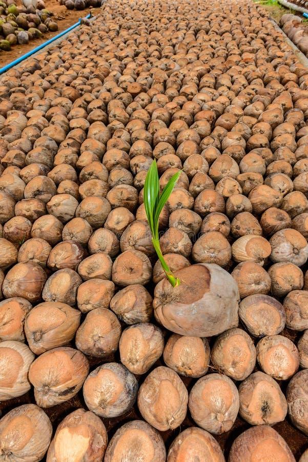 Καρύδα, νέα μικρά δέντρα καρύδων στοκ φωτογραφίες