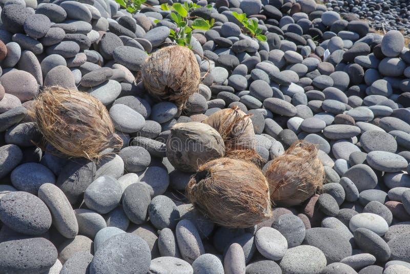 Καρύδες σε μια παραλία χαλικιών Φρούτα φοινικών καρύδων στην παραλία Καφετιές καρύδες που ρίχνονται από τη θάλασσα σε μια πετρώδη στοκ εικόνες
