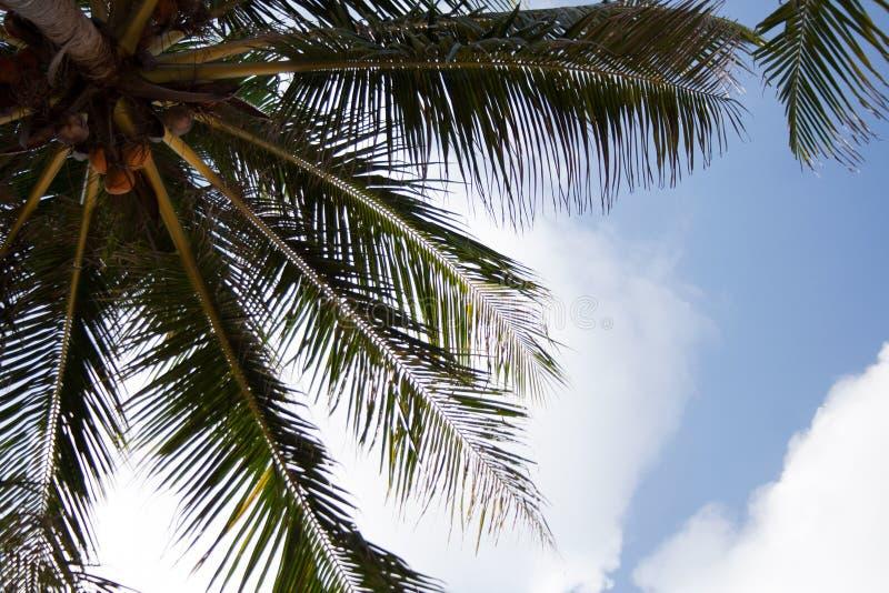 Καρύδες στο φοίνικα με το μπλε ουρανό και τα σύννεφα στοκ εικόνες