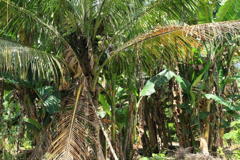 Καρύδες στο palmtree καρύδων στοκ εικόνα με δικαίωμα ελεύθερης χρήσης